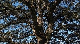 Pohon Kapur (Dryobalanops camphora Colebr) merupakan salah satu jenis tumbuhan penghasil kapur barus, balsam, damar, minyak atsiri, dan kayu. Keberadaan tumbuhan kapur pada saat ini menurut International Union for the Conservation of Nature and Natural Resources (IUCN) Redlist termasuk dalam status konservasi Critically Endangered atau kritis. Status ini merupakan status keterancaman dengan tingkatan paling tinggi sebelum status punah.