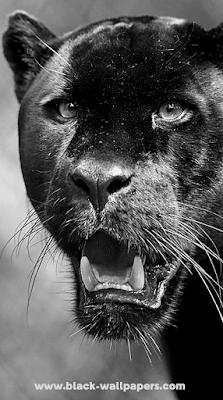 black panther 4k wallpaper