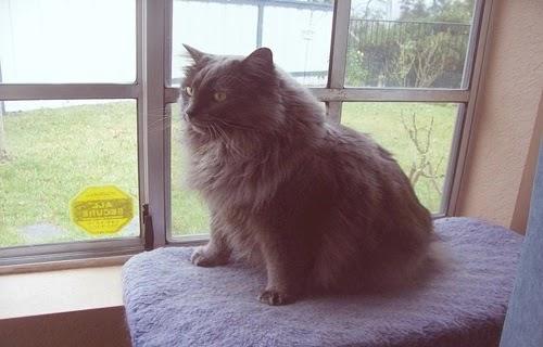 قط كيمريك  افضل انواع القطط المنزلية