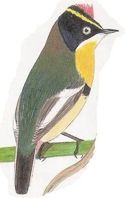 Tachurí sietecolores Tachuris rubrigastra