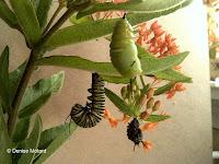 Empty caterpillar skin hanging from fresh chrysalis - © Denise Motard