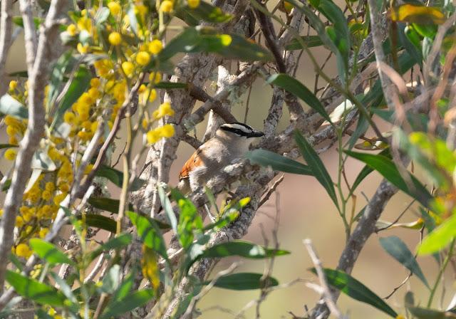 Black-crowned Tchagra - Souss Massa National Park, Morocco