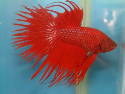Chilli Red Crowntail