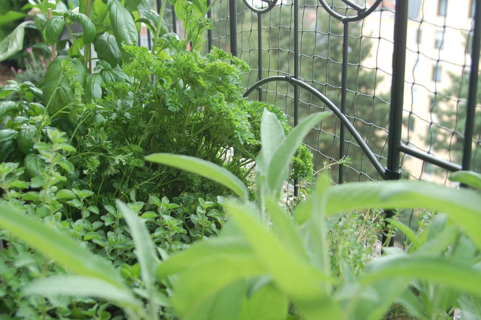 karambakarina 39 s welt mein kleiner kr utergarten auf dem balkon. Black Bedroom Furniture Sets. Home Design Ideas