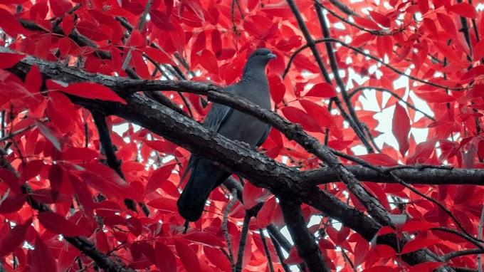 Papel de Parede hd Pombo na Árvore