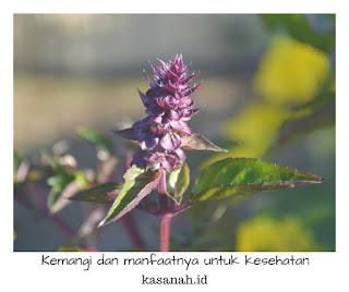 Bunga kemangi yang berwarna ungu