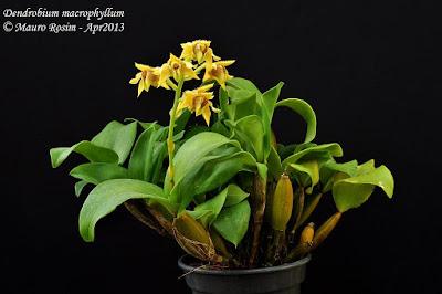 Dendrobium macrophyllum care and culture