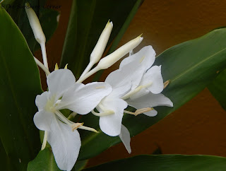 white butterfly ginger lily