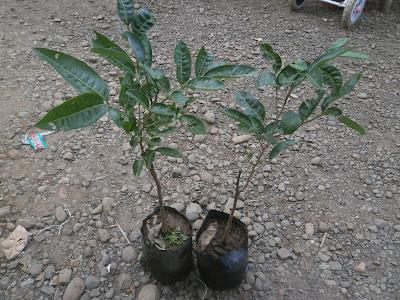 lengkeng aroma durian kelengkeng aroma durian buah kelengkeng aroma durian bibit kelengkeng aroma durian jual bibit kelengkeng aroma durian bibit kelengkeng unggul penjual bibit kelengkeng aroma durian tanaman kelengkeng aroma durian