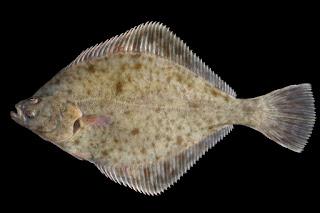 mature flounder
