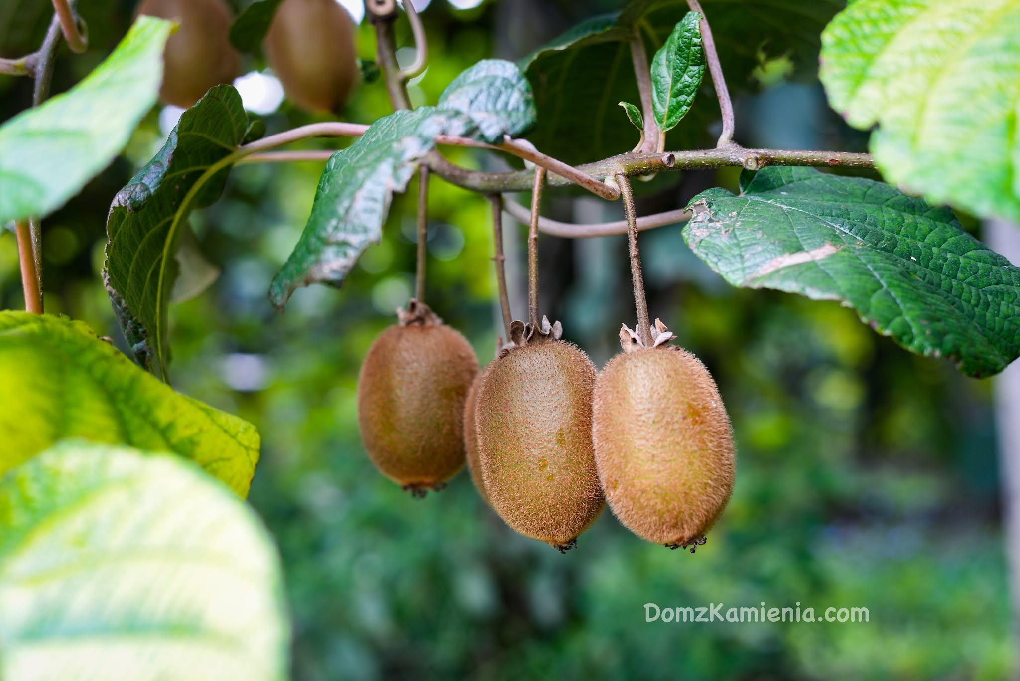 Plantacja kiwi - Dom z Kamienia blog