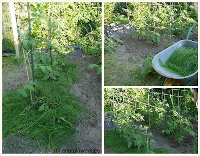 Heermoes mulch voor je tomatenplanten geeft sterkere tomaten