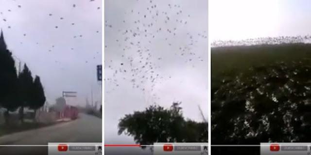 Merinding Kawanan Besar Burung Gagak dan Nyamuk Raksasa Terlihat Sekitar Pusat Virus Corona