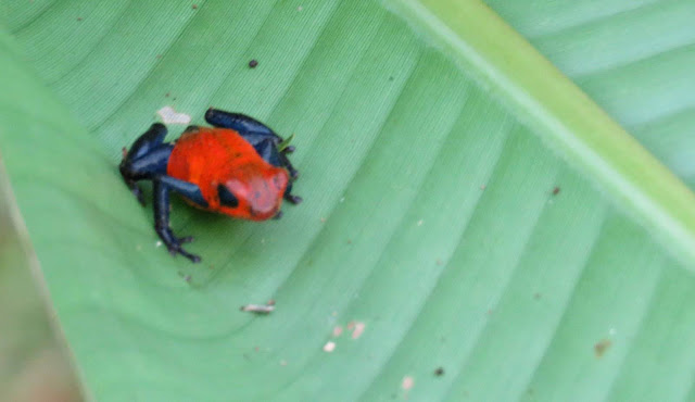 Costa Rica Wildlife: Blue jeans frog