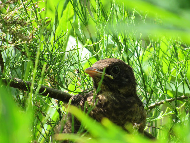 Blackbird chick in the tamarisk shrub