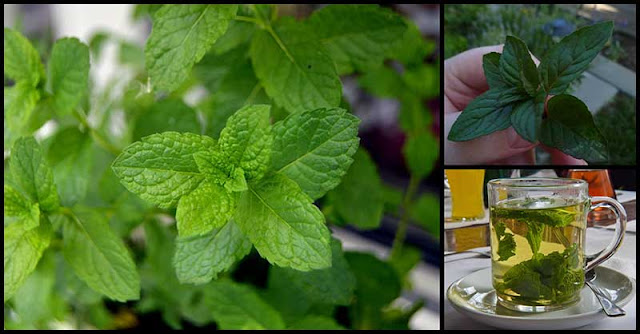 Mint: A Magic Herb With Superb Health Benefits