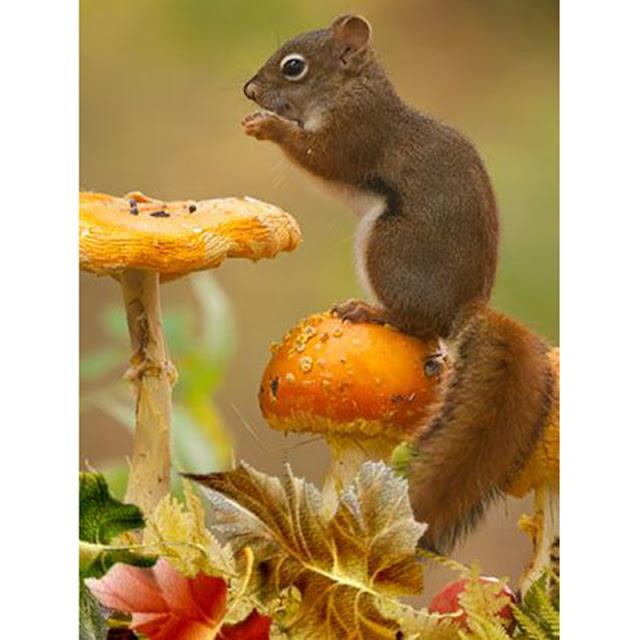 Ele estão espalhados por quase todo o mundo, a maioria nas zonas de climas temperado ou tropical, mas também em algumas zonas de clima frio. Como todos os roedores, possui presas fortíssimas, com que roem sementes com facilidade, principalmente bolotas.