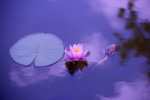 lotus flower in water