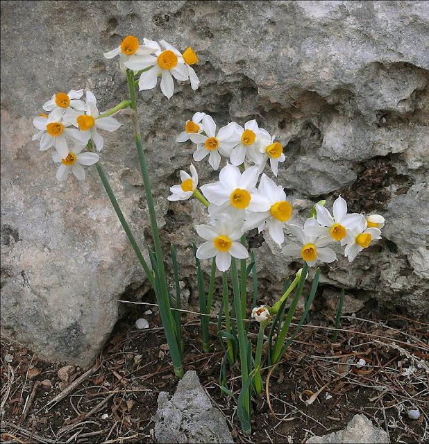 HOA THỦY TIÊN - Narcissus tazetta - Nguyên liệu làm thuốc Chữa Ho Hen