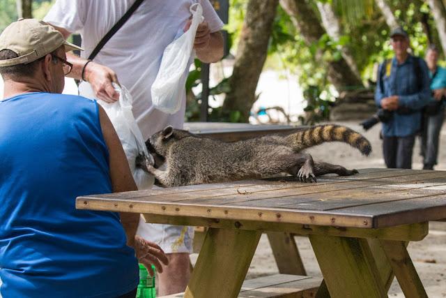 Mapache robando la comida a un turista en el parque nacional Manuel Antonio en Costa Rica