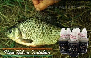 Essen Katilayu Ikan Nilem Khusus Indukan
