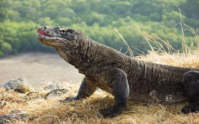 Komodo Dragons Miami (Florida), USA