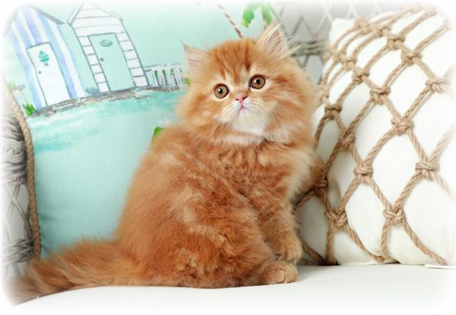القط الشيرازي أفضل نوع قطط في العالم