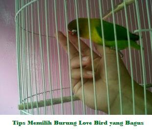 Tips Cara Memilih Burung Love Bird yang Bagus