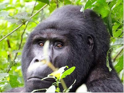 gorilla trek, gorilla rwanda, 3 days Rwanda safari, rwanda gorilla trek, budget gorilla trek rwanda, cheap gorilla safari, cost of 2 day gorilla trek Rwanda, two day gorilla tracking, gorilla permits rwanda, gorilla tracking rwanda, rwanda tours, rwanda safaris, rwanda tour guides, rwanda tour agent, lake Kivu tours, volcanoes national park, rwanda gorillas, primates rwanda, cultural safari rwanda, gorilla trek tour price rwanda, car hire price rwanda, group tour rwanda