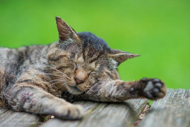 腕枕で気持ちよくお昼寝している野良猫
