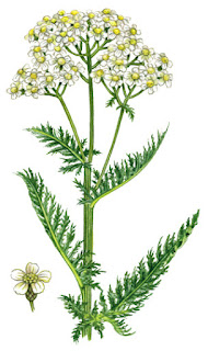 Yarrow: A Medicinal Herb for antispasmodics, astringents, colds, fevers, digestive. 31Daily.com
