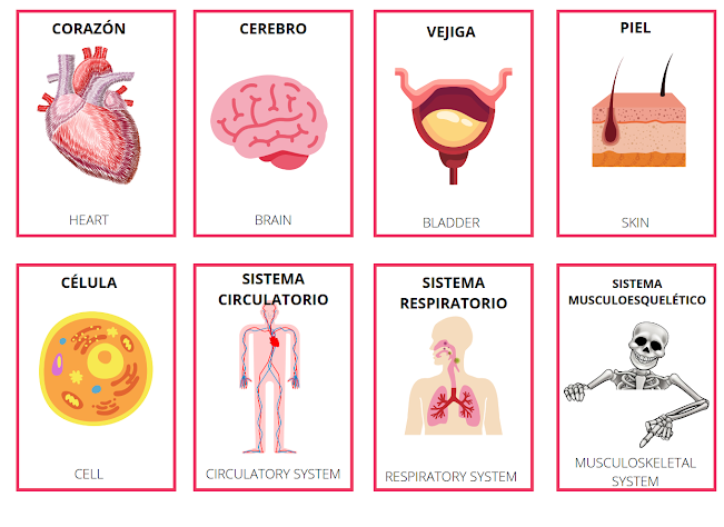 learn the body parts in Spanish