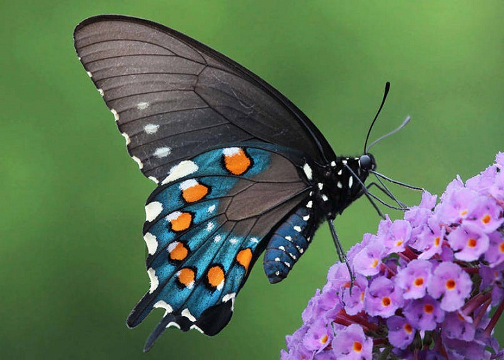 Adakah Kupu-kupu yang Beracun? Belajar Sampai Mati, belajarsampaimati.com, hoeda manis
