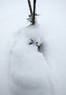 Little olive tree in the snow