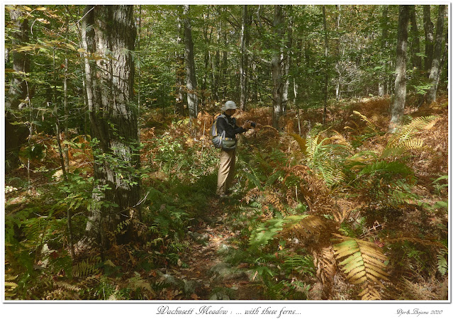 Wachusett Meadow: ... with these ferns...
