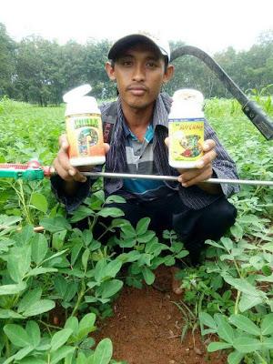 Memanfaatkan Waktu sebelum Produksi Sawit dengan Tanam Kacang Tanah