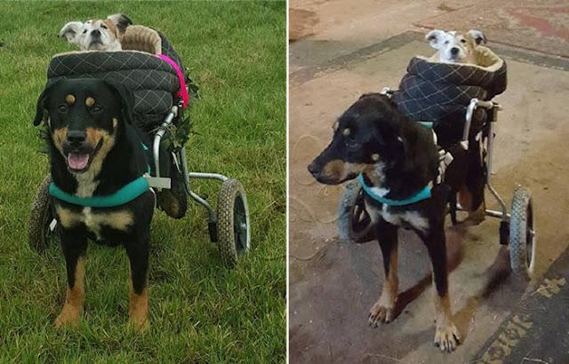 [CONMOVEDOR] Perrita ciega y sorda comparte sus días con su mejor amigo canino discapacitado (video)