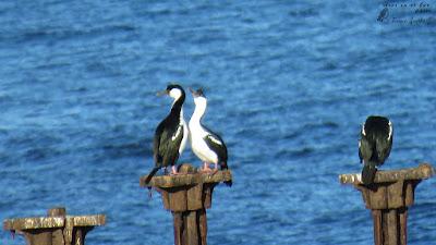 Cormorán imperial (Phalacrocorax atriceps) / Costanera de Puerto Montt