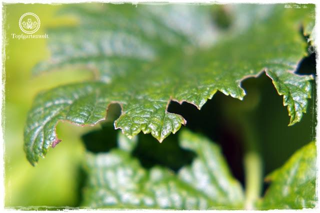 Buchtenfraß Dickmaulrüssler - Gartenschädlinge erkennen - Kartoffelkäfer - Bist du noch zu retten? 100 Gartenproblemen auf die Schliche kommen - Gartenblog Topfgartenwelt