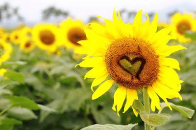 Hoa hướng dương đẹp nhất thế giới 17