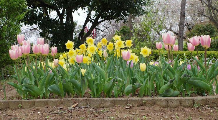 チューリップと水仙の花壇