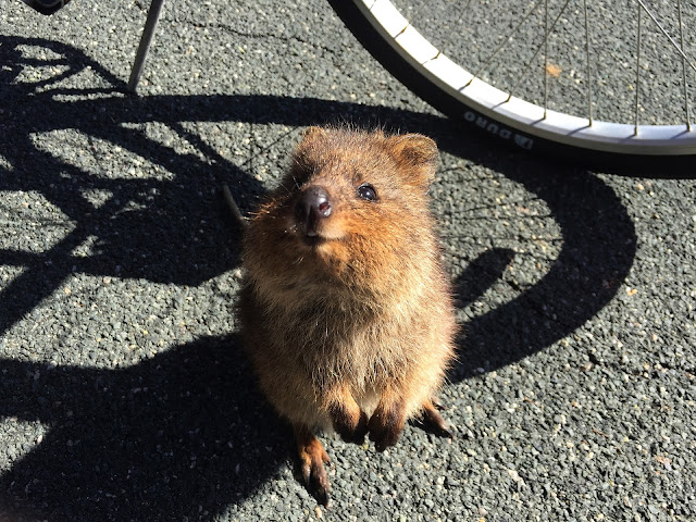 Facts About The Smiling Animal : Quokka !