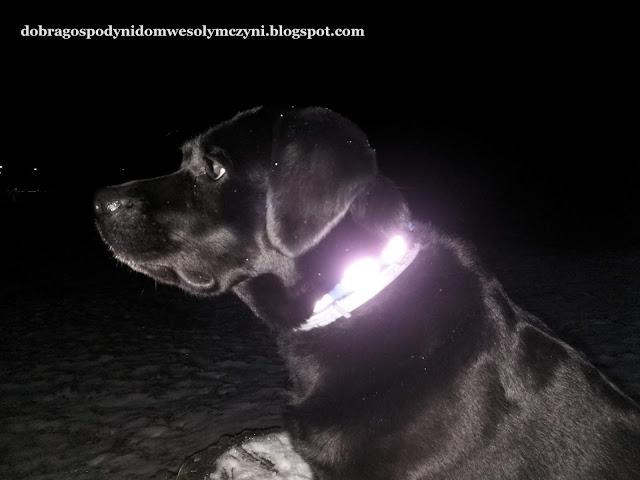 pies bezpieczny na spacerze, obroża, smycz, szelki dla psa