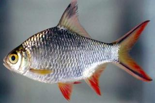 Bader Abang Ikan Sungai Brantas