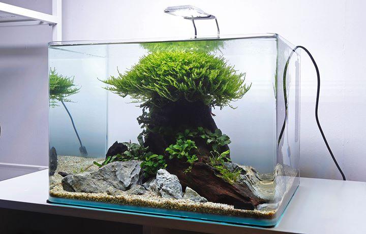 Bố cục thủy sinh với 1 góc lũa to - Rêu mini spiky, ráy nana