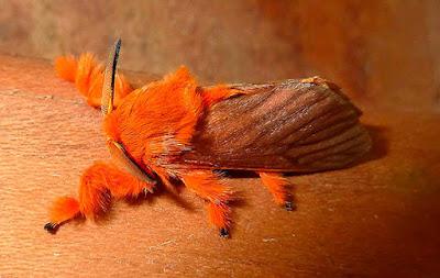 Na fase adulta (boboleta), o comprimento das asas anteriores é de 12-18 mm para os machos e 19-25 mm para as fêmeas. As cores são amarelas-laranja a vermelho-marrom, com veias amarelas.