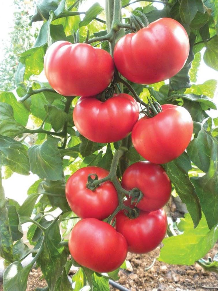 Benih Bibit Tomat Red Beefsteak Haira Seed Yogyakarta