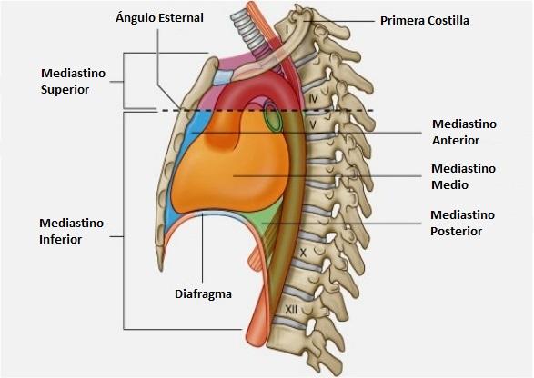 Anatomía Topográfica del Mediastino ~ El Médico Contesta