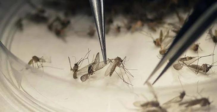 Aprueban liberar 750 millones de mosquitos en Florida para que acaben con enfermedades