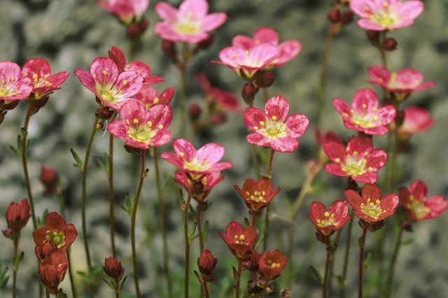 Saxifrage Flower